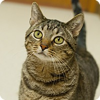 Domestic Shorthair Cat for adoption in Great Falls, Montana - Archie