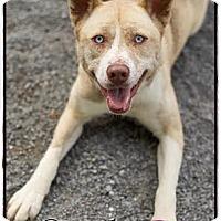 Adopt A Pet :: Socks - Windham, NH