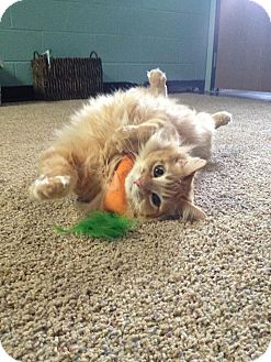Domestic Longhair Cat for adoption in Livonia, Michigan - Honey Pillsbury with Neptune