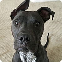 American Pit Bull Terrier/Great Dane Mix Dog for adoption in Fulton, Missouri - Lug Nut - Nevada