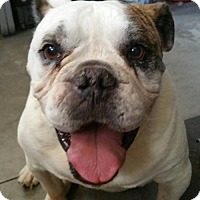 English Bulldog Dog for adoption in Alta Loma, California - Biggie