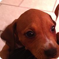 Adopt A Pet :: Judy - Tampa, FL