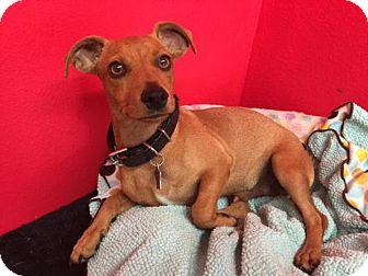 Dachshund Puppy for adoption in Phoenix, Arizona - Brown