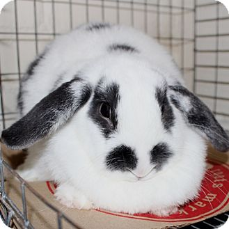 Lop, Holland Mix for adoption in Ellicott City, Maryland - 22997 - Snowflake