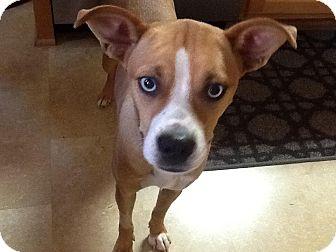 Boxer/Husky Mix Dog for adoption in Manhasset, New York - Tiffany