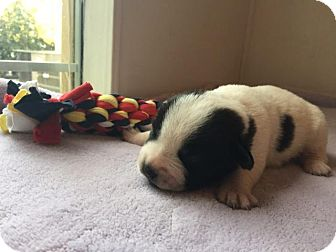 Labrador Retriever/Beagle Mix Puppy for adoption in Gallatin, Tennessee - Boston