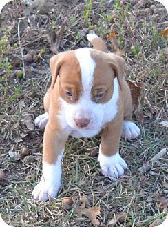 Labrador Retriever/Australian Cattle Dog Mix Puppy for adoption in Manchester, New Hampshire - Duke