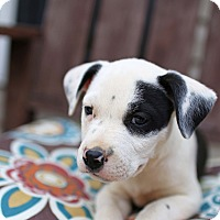 Adopt A Pet :: Patchy - Harrisonburg, VA