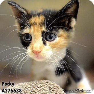 Domestic Mediumhair Kitten for adoption in Conroe, Texas - PIXIE