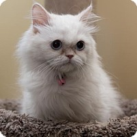 Persian Cat for adoption in West Palm Beach, Florida - Powder