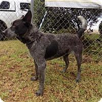 Adopt A Pet :: Benny - Kailua-Kona, HI