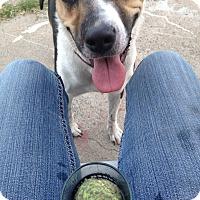 American Pit Bull Terrier/German Shepherd Dog Mix Dog for adoption in Sacramento, California - Coco