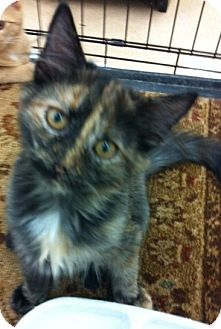 Domestic Mediumhair Kitten for adoption in Lincolnton, North Carolina - Missy
