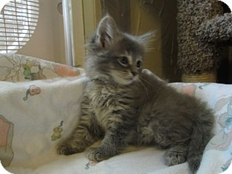 Domestic Mediumhair Kitten for adoption in Richland, Michigan - Lexi