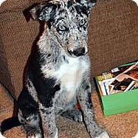 Adopt A Pet :: Cherokee Blue Eyes - Clinton, LA
