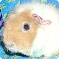 Adopt A Pet :: Gizmo - Steger, IL