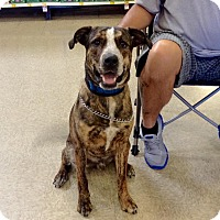 Adopt A Pet :: Chase - Pitt Meadows, BC