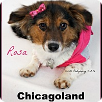 Adopt A Pet :: Rosa - Elmhurst, IL