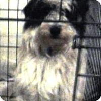 Shih Tzu Mix Dog for adoption in Oswego, Illinois - Malibu