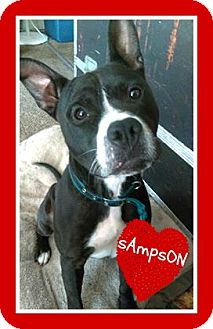 American Pit Bull Terrier Mix Dog for adoption in Des Moines, Iowa - Sampson