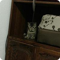Manx Cat for adoption in Paradise, California - Hutch