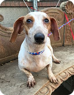 Dachshund Dog for adoption in Santa Ana, California - Marty