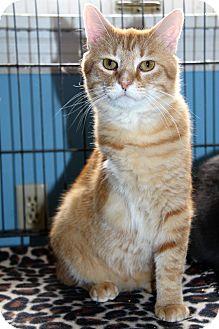 Domestic Shorthair Cat for adoption in LaGrange, Kentucky - Bop