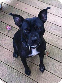 Pit Bull Terrier/Labrador Retriever Mix Dog for adoption in Seattle, Washington - Raina Ryan