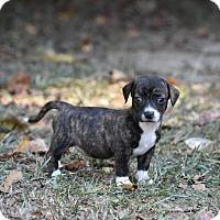 Adopt A Pet :: Diamond - Groton, MA