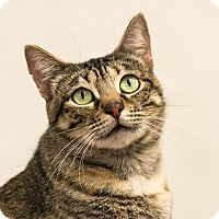 Domestic Shorthair Cat for adoption in Houston, Texas - Madeleine