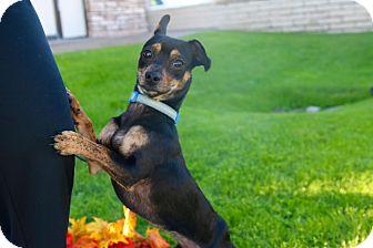 Chihuahua Mix Dog for adoption in Phoenix, Arizona - STEWIE