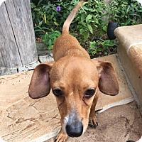 Adopt A Pet :: Karsen - Weston, FL