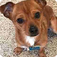 Adopt A Pet :: Pepsi - Adoption Pending - Gig Harbor, WA