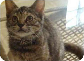 Domestic Shorthair Kitten for adoption in Davis, California - Revkha