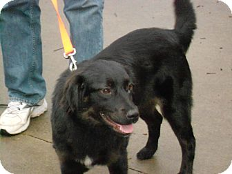 Border Collie/Flat-Coated Retriever Mix Dog for adoption in Raleigh, North Carolina - SASSY