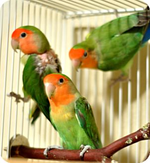 Lovebird for adoption in Shawnee Mission, Kansas - Malachite