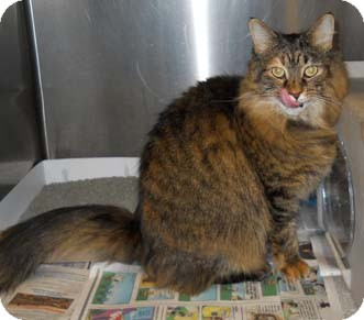 Maine Coon Cat for adoption in Merrifield, Virginia - Maui