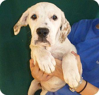 American Bulldog/Boxer Mix Puppy for adoption in Oviedo, Florida - John