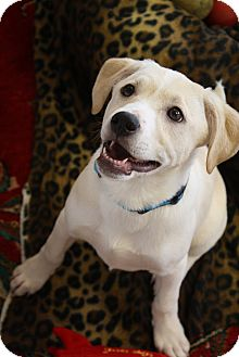 Brodie Adopted Puppy Homewood Al Labrador Retriever