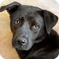 Labrador Retriever Mix Dog for adoption in Phoenix, Arizona - Rosebud
