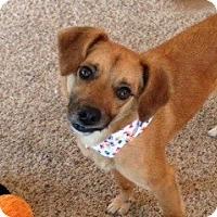 Adopt A Pet :: Figaro - Covington, KY