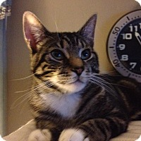Domestic Shorthair Cat for adoption in Mount Laurel, New Jersey - Spanky