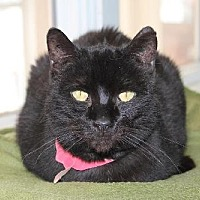 Domestic Shorthair Cat for adoption in Iroquois, Illinois - Dellie
