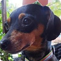 Adopt A Pet :: ZOE - Portland, OR