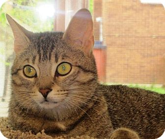 Domestic Shorthair Cat for adoption in Burlington, Ontario - Hydie