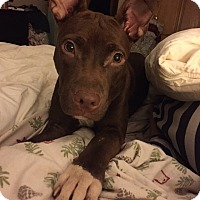 Adopt A Pet :: Nola in CT - Manchester, CT