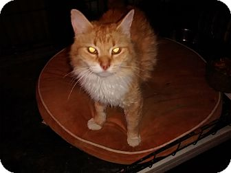 Domestic Longhair Cat for adoption in Saint Albans, West Virginia - Hazel