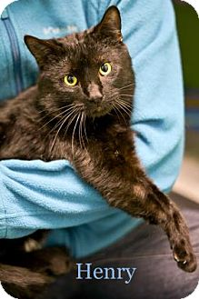 Domestic Shorthair Cat for adoption in West Des Moines, Iowa - Henry
