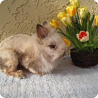 Adopt A Pet :: Lacey - Bonita, CA