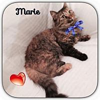 Adopt A Pet :: Marie - Harrisburg, NC